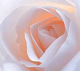 Bild mit Blumen, Rosen, Blume, Rose, weiße Rose, weiße Rosen, Blüten, Makros, Makroaufnahmen, blüte, nahaufnahme, Rosenblätter, Hell, pastell, rosenblüten