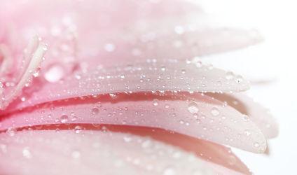 Bild mit Blumen, Rosa, Gerberas, Blume, Gerbera, Wassertropfen, Regentropfen, Tropfen, Blüten, blüte, gerberablüten, pinke gerbera, gerberablüte