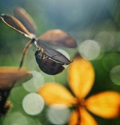 Bild mit Blumen, Insekten, Blume, Marienkäfer, hortensien, Blüten, Makros, blüte, Insekt, Hortensie, Käfer