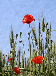 Bild mit Blumen, Mohn, Blume, Mohnblume, Mohnfeld, Wiese, Feld, Felder, Mohnblumen, Wiesen, Mohnblumenfeld