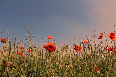 Bild mit Blumen, Mohn, Blume, Mohnblume, Mohnfeld, Feld, Felder, Wiesen & Felder, Mohnblumen, Mohnblumenfeld