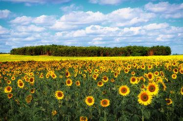 Bild mit Natur, Landschaften, Sonnenblumen, Landschaft, Sonnenblume, Feld, Landschaftspanorama, Felder, Sonnenblumenfeld, sonnenblumenfelder