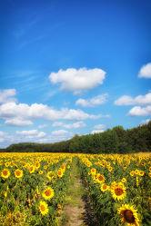 Bild mit Natur, Landschaften, Wege, Sonnenblumen, Weg, Landschaft, Sonnenblume, Feld, Landschaftspanorama, Felder, Feldweg, Sonnenblumenfeld, sonnenblumenfelder