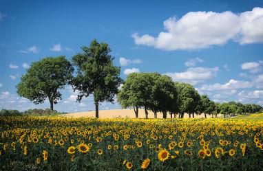 Bild mit Natur, Landschaften, Blumen, Wege, Sonnenblumen, Weg, Landschaft, Blume, Sonnenblume, Feld, Feldblumen, Felder