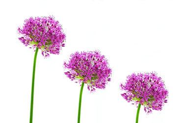 Bild mit Pflanzen, Blumen, Lila, Blume, Blüten, blüte, Zierlauchblüte, Zierlauch