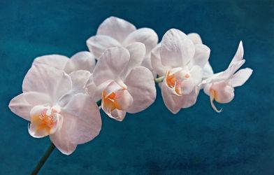 Bild mit Blumen, Orchideen, Blume, Orchidee, Blüten, blüte, weiße Orchideen