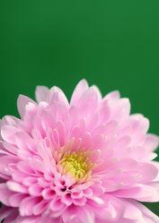 Bild mit Blumen, Rosa, Blume, Blüten, blüte, Blumenblüten, rosa Blüten, rosa Blume