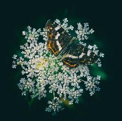 Bild mit Natur, Blumen, Insekten, Schmetterlinge, Blume, Makros, Schmetterling, butterfly, Falter, Insekt