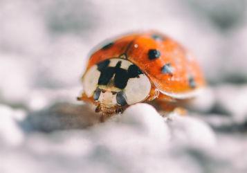 Bild mit Insekten, Marienkäfer, Insekt