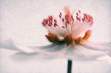 Bild mit Blumen, Blume, Flower, Blüten, anemonen, VINTAGE, blüte, pastell, anemone