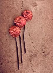 Bild mit Pflanzen, Blumen, Rosa, Astern, Blume, Blumenstrauß, Blüten, VINTAGE, blüte, altrosa, sommerastern