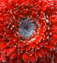 Bild mit Blumen, Gerberas, Rot, Blume, Gerbera, Blüten, blüte, gerberablüten