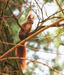 Bild mit Tiere, Wälder, Wald, Tier, Eichhörnchen, Tierwelt
