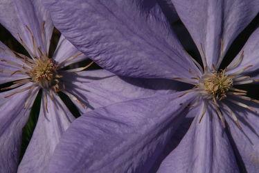 Bild mit Pflanzen,Blumen,Lila,Blume,Pflanze,Nature,Blüten,Natur Kunst Bilder,Clematis,Blütenblätter,violet