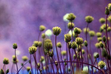 Bild mit Grün, Pflanzen, Blumen, Lila, Kräuter, Nutzpflanzen, Blume, Pflanze, Abstrakt, garten, Schnittlauch, garden, allium, violet