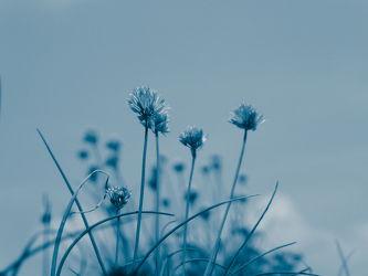 Bild mit Natur,Pflanzen,Blau,Landschaft,Plant,Abstrakt,blue,garten,Schnittlauch,allium