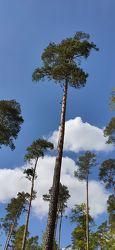 Bild mit Natur, Wald, Lichtung, Waldlichtung, Kiefer