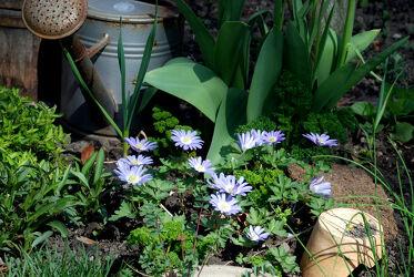 Gartenidylle mit GieÃ?kanne und Anemonen
