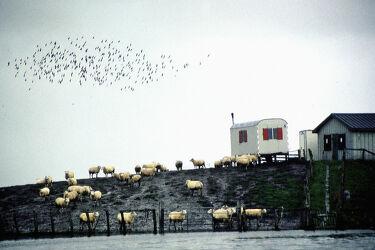 Schafe auf kleiner Nordseeinsel