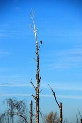 Vogel auf Birkenstamm