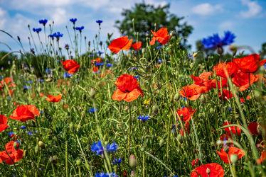 Bild mit Gräser, Jahreszeiten, Blumen, Rot, Blau, Sommer, Landschaft, Feld mit Mohnblumen, Wiese, Feldblumen, Blüten, Mohnblumen, Kornblumen