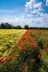 Bild mit Landschaften, Jahreszeiten, Sommer, Mohn, Mohneblumen, Feld mit Mohnblumen, Kornblume, Kornfelder