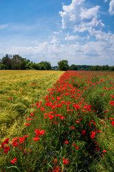 Bild mit Natur, Grün, Gräser, Jahreszeiten, Rot, Blau, Sommer, Mohn, Kräuter, Kräuter, Landschaft, Klatschmohn, Wiese, Licht, Feld, Mohnblumen, Land, Schatten, Kornblumen, Gewächse, wirtschaft