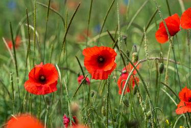 Bild mit Natur, Grün, Gräser, Landschaften, Jahreszeiten, Blumen, Rot, Sommer, Mohn, Klatschmohn, Licht, Felder, Blüten, Wiesen, landwirtschaft, Schatten, Unschärfe, Wachstum, Biotop