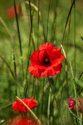 Bild mit Natur, Pflanzen, Gräser, Jahreszeiten, Sommer, Mohn, Kräuter, Klatschmohn, Wiese, Licht, landwirtschaft, Schatten, Kornblumen