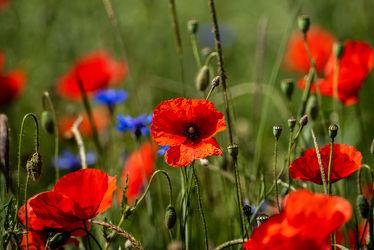 Bild mit Natur, Grün, Gräser, Jahreszeiten, Rot, Blau, Sommer, Kräuter, Landschaft, Klatschmohn, Wiese, Licht, Feld, Land, Schatten, Kornblumen, Gewächse, Mohn. Mohnblumen, wirtschaft