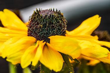 Bild mit Gelb, Sommer, Blume, Pflanze, Licht, Blüten, garten, Sonnenhut, Schatten, Wachstum, Echinacea, blühen