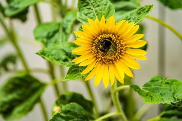 Bild mit Gelb, Natur, Grün, Sommer, Sonne, Blätter, Makroaufnahme, Blume, Pflanze, Makro, Licht, Sonnenblume, garten, blüte, nahaufnahme, Pollen, Schatten, Wachstum, Blütenstaub