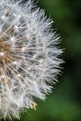 Bild mit Natur, Blumen, Küchenbild, Löwenzahn, Pusteblumen, Gartenblumen, Pollen, Flugsamen, Poster, nahaufnahmen
