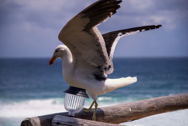 Bild mit Tiere, Natur, Vögel, Wasservögel, Raubvögel, Federn, Strand, Möwe, Küste, Auge, Blick, Schnabel, Gefieder, Jagd, Beute