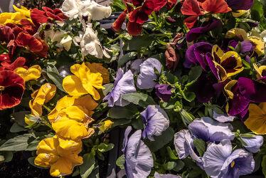 Bild mit Farben, Natur, Pflanzen, Jahreszeiten, Blumen, Frühling, Licht, Bunt, frühlingsblumen, garten, Schatten, Stiefmütterchen, blühen