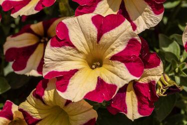 Bild mit Gelb, Natur, Pflanzen, Blumen, Violett, Frühling, Sonne, Licht, garten, blüte, Schatten, blühen, farbenprächtig, Petunie