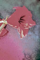 Bild mit Pflanzen, Rosa, Rot, Blume, Makro, Licht, Objekte, zimmerpflanzen, blüte, nahaufnahme, Schatten, Amaryllis Blüte, Detail Aufnahme
