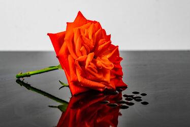 Bild mit Natur, Grün, Blätter, Blume, Pflanze, Rose, Makro, Licht, Spiegelungen, nahaufnahme, Schatten, Reflexionen, Studioaufnahme, lachsfarben