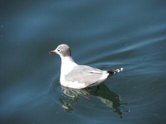 Bild mit Natur, Wasser, Vögel, Möwen, Tier, Tierwelt, Schwimmen, Schwimmvogel