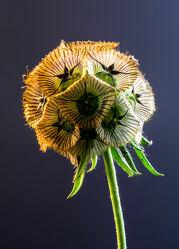 Bild mit Natur, Makroaufnahme, Blume, Pflanze, Studio, nahaufnahme, Samen, Wachstum, Sternskabiose, Shot