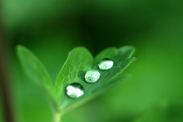 Bild mit Natur, Grün, Blätter, Pflanze, Makro, weiss, Blatt, Wassertropfen, nahaufnahme, Akelei, Kräftig, wildblume, glänzend