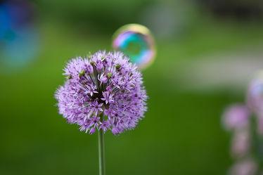 Bild mit Natur, Violett, Blume, Pflanze, Makro, Seifenblase, Bunt, Flora, blüte, nahaufnahme, allium, Zwiebel, Kräftig, kugelblume, Kugel, verspielt