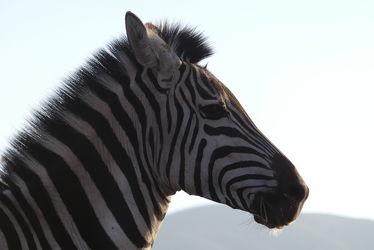 Bild mit Tiere, Säugetier, Portrait, Zebra, Tierportrait, Pferdeporträt