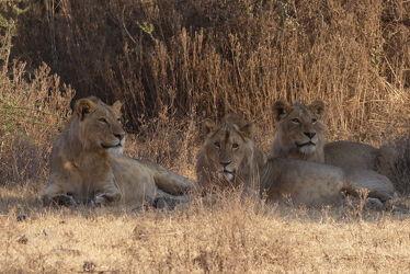 Bild mit Natur, Löwen, Löwe, Afrika, Nationalpark, Schattenruheplatz, safari