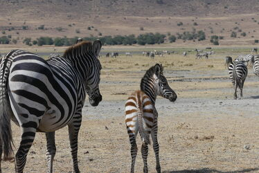 Bild mit schwarz & weiss, Afrika, Zebras, Zebraherde, Fohlen, Mutter, safari