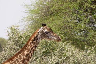 Bild mit Tiere, Natur, Paarhufer, Giraffe, Afrika, Portrait, Nationalpark, Tierportraet, Tierportrait, safari