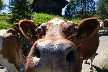 Bild mit Rinder, Kühe, Alm, landwirtschaft, Bern, Bergbauern, Viehwirtschaft, Viehhaltung, Abtrieb, Viehtrieb, Rindvieh, Fleckvieh