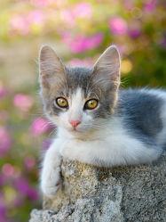 Niedliches grau weißes junges Kätzchen