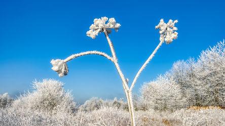 Eiskristalle an einer Doldenblüte