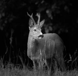 Bild mit Natur, Wildlife, Jagen, Rehbock